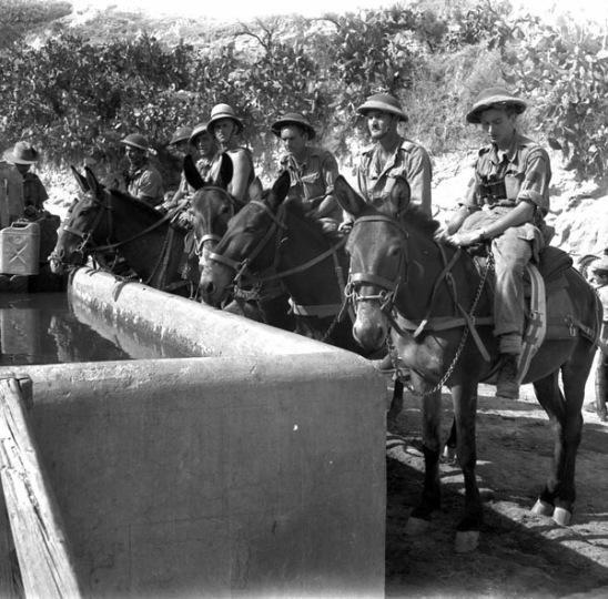 Il Pioneer Platoon del Royal Canadian Regiment, abbevera i muli usati per trasportare rifornimenti. Regalbuto 4 agosto 1943